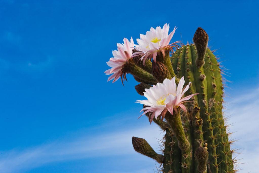 DSG-Cactus